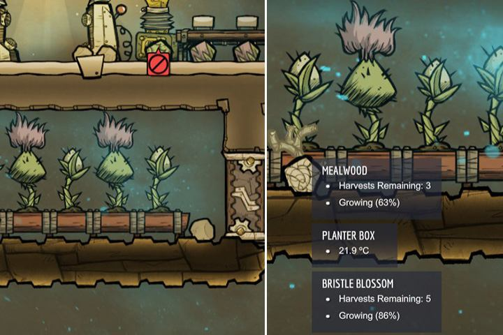 Bristle Blossom grows slower, but its healthier, has more calories, and can be harvested more often than Mealwood during its growth cycle - How to start? - The Beginning - Oxygen Not Included Game Guide